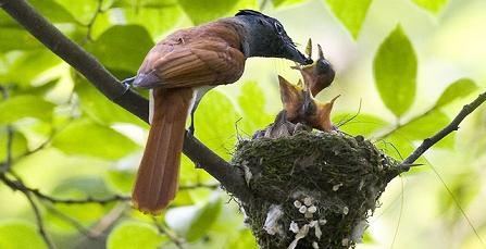 Cách chim cu nhờ chim khác nuôi hộ con mình?