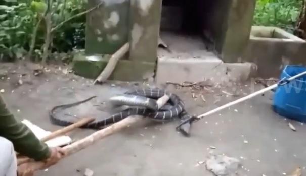 Rùng rợn bắt hổ mang chúa dài 5m trong nhà vệ sinh