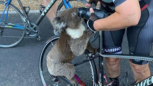 Ấm áp khoảnh khắc koala xin con người cho uống nước