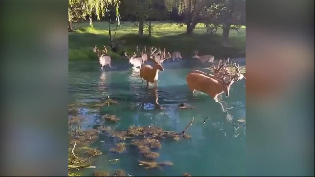 Whitetail deer crossing the pond