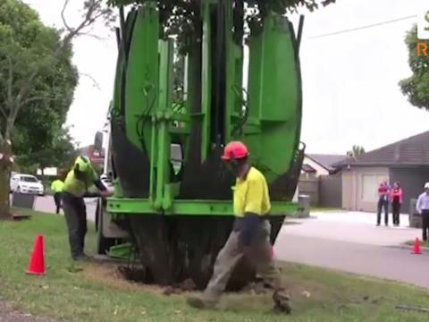 Cách để di chuyển cây lớn mà không làm hại rễ